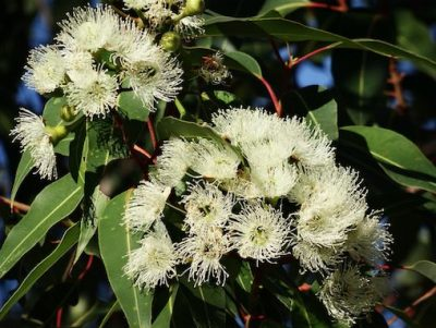happy flowers on flowering eucalypt