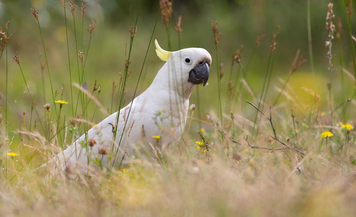 positive-thinking happy cockatoo